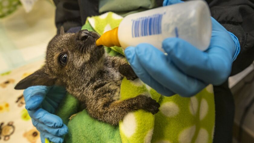 A Dose of Adorable: Wallaby Joey Now Being Hand Raised at the San Diego Zoo Safari Park