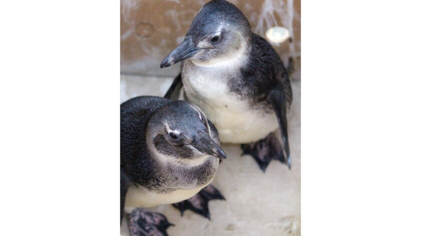 Young African penguins.