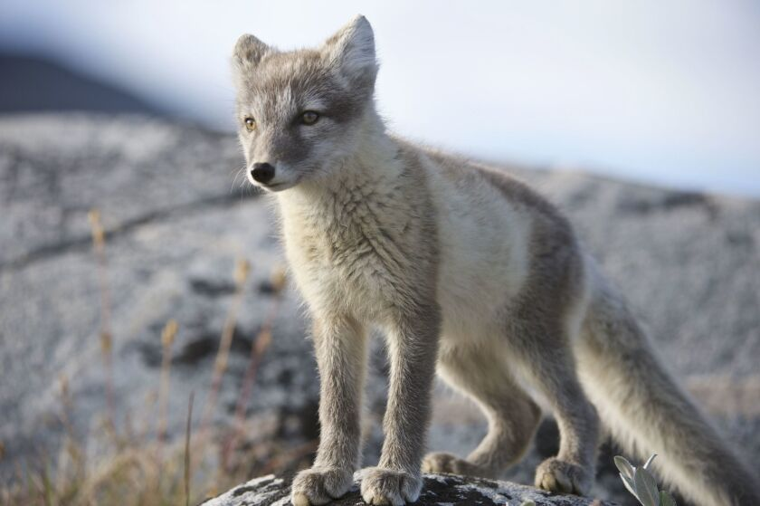 Arctic fox (Vulpes lagopus) portrait