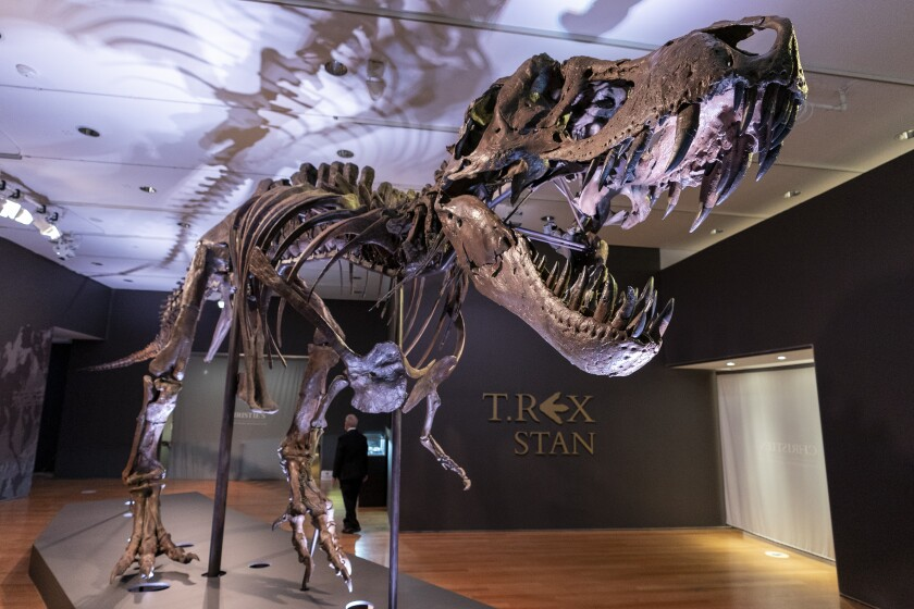 Stan, one of the largest and most complete Tyrannosaurus rex fossil discovered, is on display, Tuesday, Sept. 15, 2020, at Christie's in New York. The T. rex named after the paleontologist who first found the skeleton's partially unearthed hip bones, will be auction on Oct. 6, 2020 and will be on public view from Sept. 16 - Oct. 21, 2020 to pedestrians through Christie's floor-to- ceiling gallery windows and a limited number of in-gallery viewings by appointment. Stan's head on the display is a casting of the original, which is too heavy for the display. (AP Photo/Mary Altaffer)