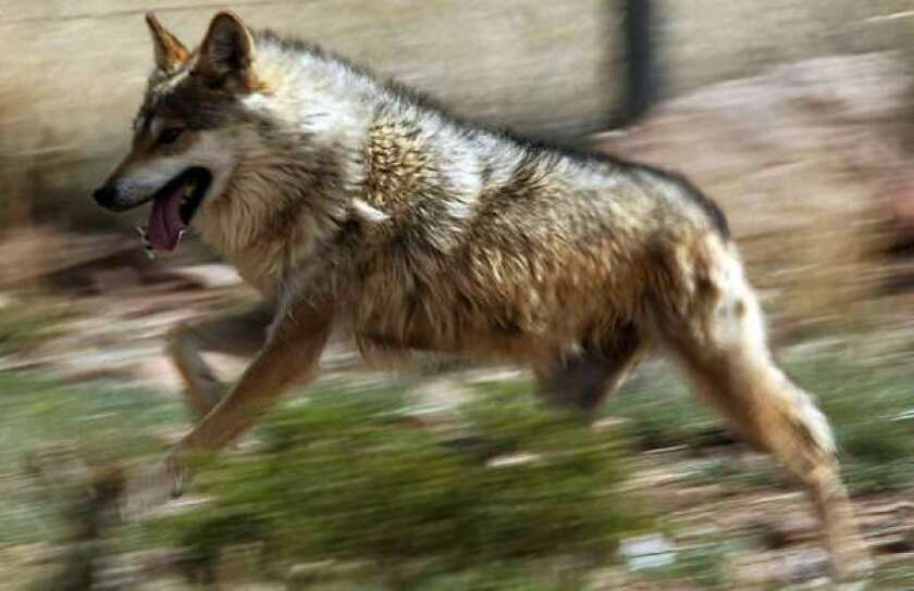 A Mexican gray wolf runs inside a holding pen at Sevilleta Wildlife Refuge in New Mexico.