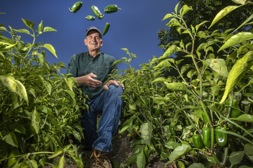 Craig Underwood of Underwood Ranches tosses jalapeño peppers into the air in a Ventura County field where they are grown.