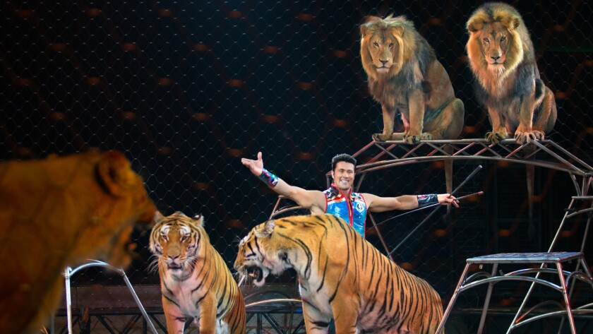 Alexander Lacey, the big cat trainer for Ringling Bros. and Barnum & Bailey, says the public doesn't fully understand his role and relationship with the animals with which he works.