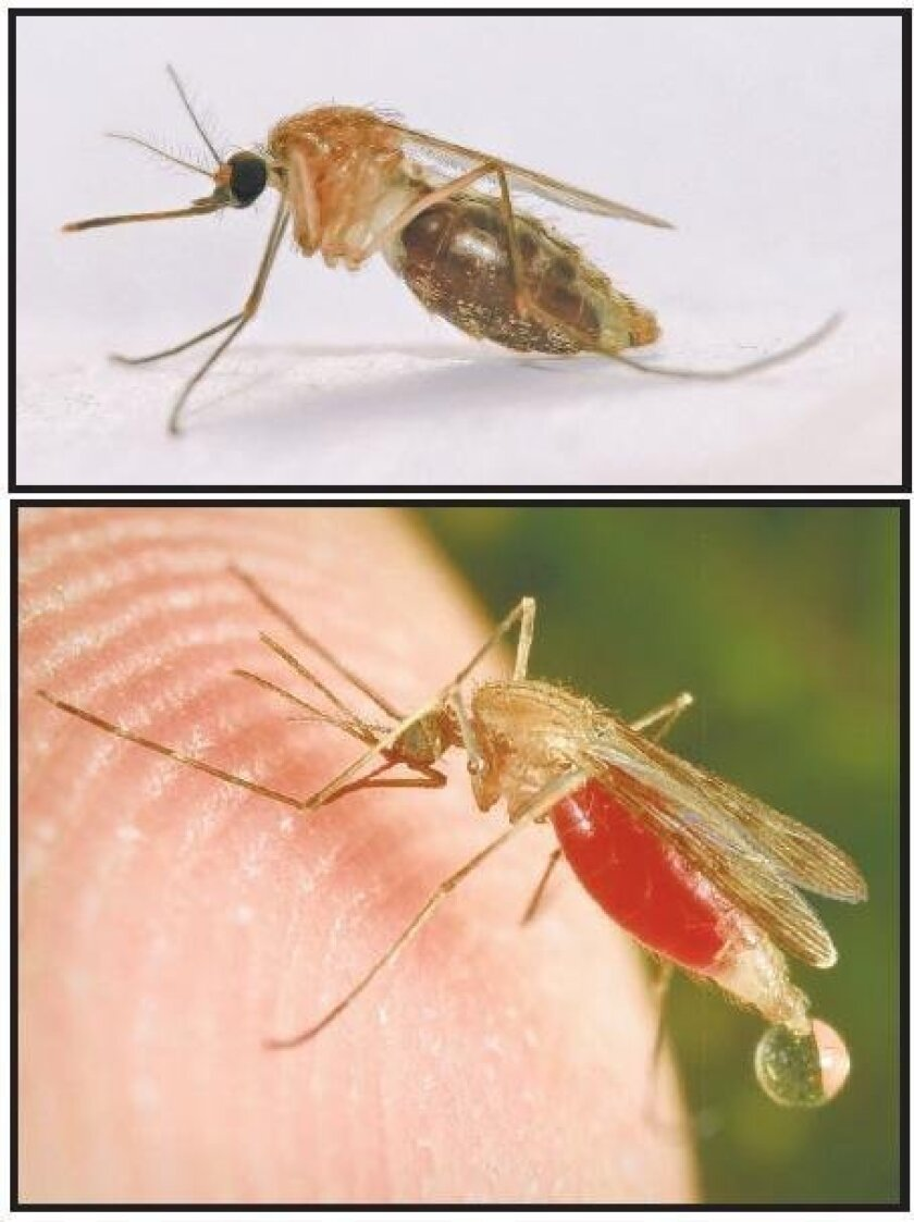 Two malaria vector mosquitoes: Anopheles gambiae (top) and Anopheles freeborni.
