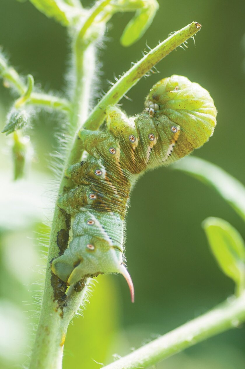 Hornworms' color makes them hard to spot on tomato plants. Look for their dark droppings.