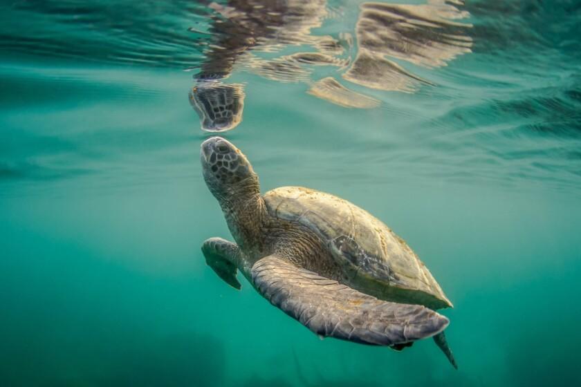 Científicos encontraron inesperadamente tortugas verdes del Pacífico oriental que viven en las costas de La Jolla.