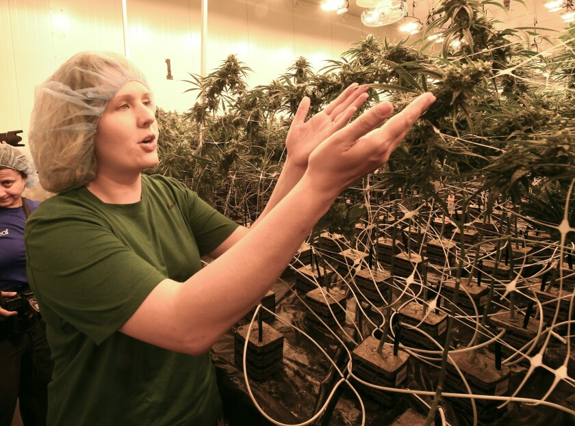 In this Aug. 22, 2019 photo, lead grower Elizabeth Keyser, talks about flowering medical marijuana plants being grown with special grow lights during a media tour of the Curaleaf medical cannabis cultivation and processing facility in Ravena, N.Y. After legislative efforts stalled and a vaping sickness stirred new concerns, the governors of New York, New Jersey and Connecticut still want to make recreational pot legal. But the states have different approaches and timeframes, and some proposals have shifted since last year. (AP Photo/Hans Pennink)