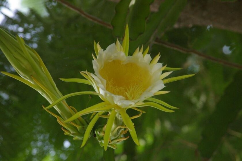 The beautiful and fragrant flower of the night-blooming cereus