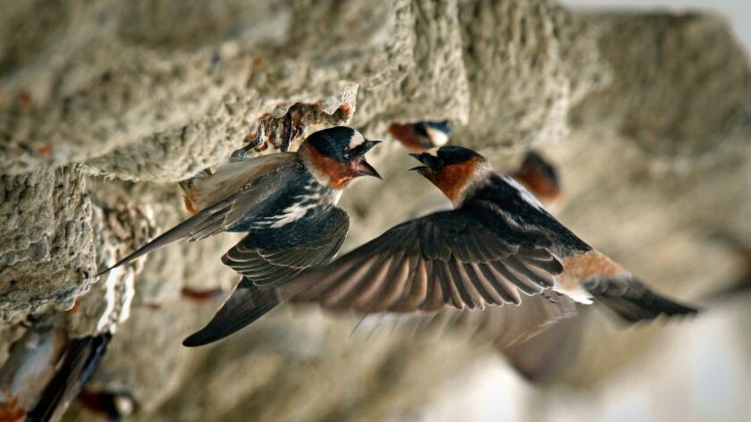 Bartletti, Don –– – April 14, 2008. Oceanside, CA. A pair of cliff swallows bring food to hatchlings
