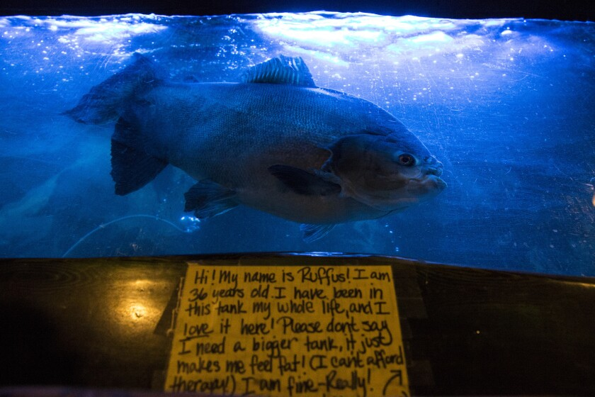 Rufus lives in a tank inside the long-closed Bahooka restaurant in Rosemead. The new owners say they will keep the 37-year-old pacu fish and the other fish and turtles that live in tanks at the restaurant.