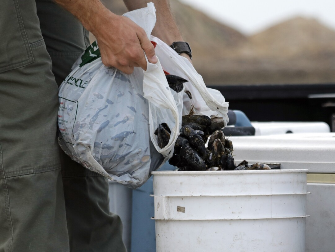 Game warden Doug Wall puts confiscated mussels in a bucket.