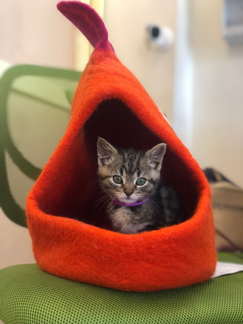 The Cat Lounge in La Jolla has kittens up for adoption.