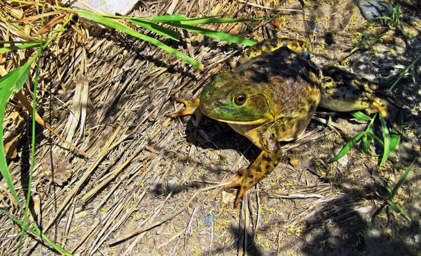 In this July, 2013 photo provided by the U.S. Geological Survey, a bullfrog rests along the Yellowstone River near Billings, Mont. Scientists say an invasion of voracious American bullfrogs is spreading downstream along Montana's Yellowstone River and poses a potential threat to native frogs. USGS