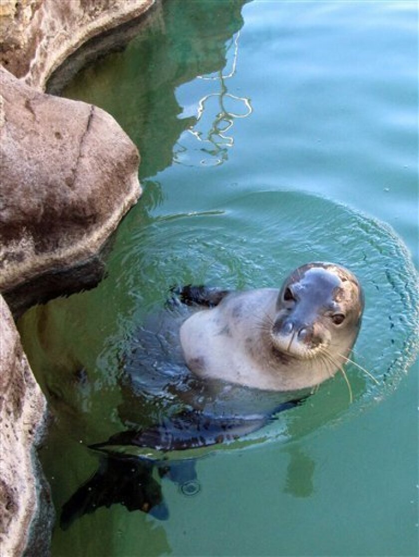 In this Dec. 15, 2011 photo, a nearly blind, endangered Hawaiian monk seal swims at the Waikiki Aquarium in Honolulu. Hoailona, also known as KP2, has spent the past two years at a California research lab. He was first rescued when federal officials found him suckling on a rock three days after his mother abandoned him on Kauai. Hawaiian monk seals are so rare and under so many environmental threats that they're on a path to go extinct in 50 to 100 years. As if that wasn't enough, anonymous humans appear to have deliberately killed at least three and maybe four seals on two islands in the past two months. (AP Photo/Audrey McAvoy)