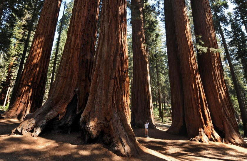 Sequoia National Park, home to giant sequoia trees, will begin to reopen after it closed in March because of the coronavirus pandemic.