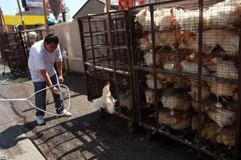 A worker with Bait Aaron tries to capture a loose chicken where dozens of caged chickens were being used in the Orthodox Jewish tradition of kaparot.