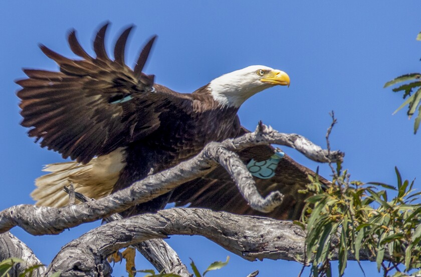 NORTH ORANGE COUNTY, CA - MAY 27: A tagged female of two parent bald eagles takes flight from a branch high in a tree not far from its nest in north Orange County containing two juvenile eagles Wednesday, May 27, 2020. The blue $85 tag indicates it is part of the Institute for Wildlife Studies project to rebuild the bald eagle population on the Channel Islands, was hatched in 2013 at Santa Rosa Island and given the name La'i. Neighbors say it's the third year the bald eagles have returned to the area to raise chicks. (Allen J. Schaben / Los Angeles Times) (Please note: Do not to disclose the location of the nest so the bald eagles would not be disturbed.)