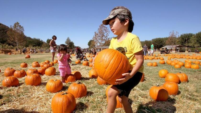 Phillip Tangonan, of San Diego, found the perfect pumpkin at the Bates Nut Farm in Valley Center. (Charlie Neuman)