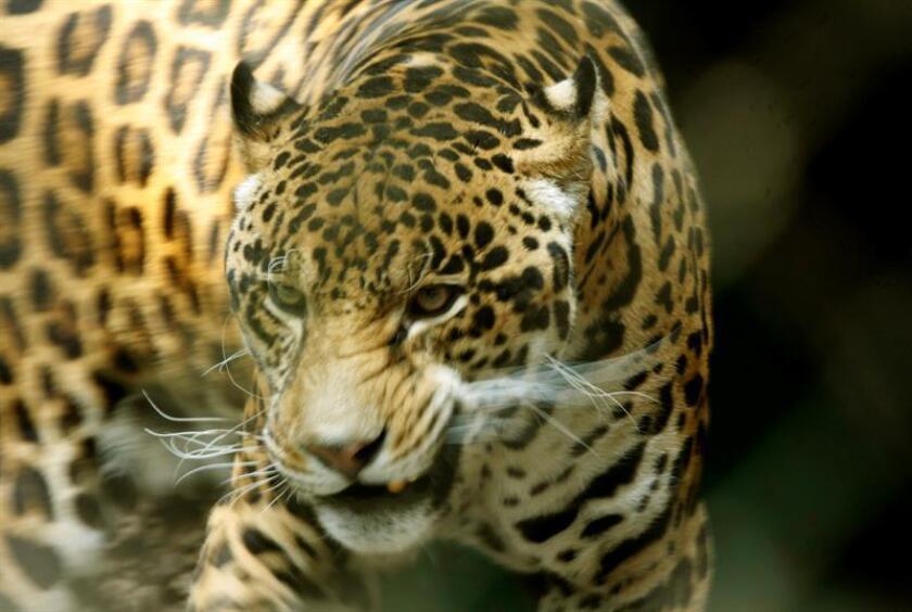Fotografía de archivo de un ejemplar de jaguar (Panthera onca). EFE/Archivo