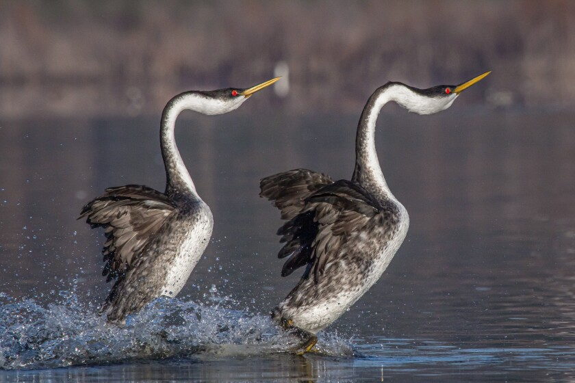 Western grebes engaged in their rushing courtship ritual at Lake Hodges.