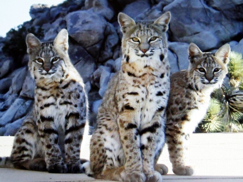 A bobcat mother and two cubs near the boundary of Joshua Tree National Park.
