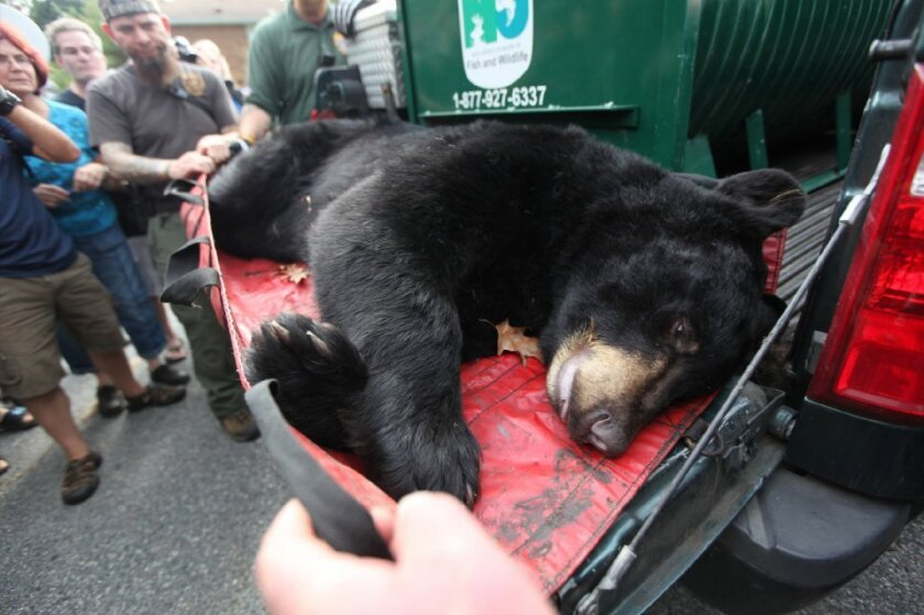 """A black bear is transported after being tranquilized in Ridgewood, N.J., on Sept. 30. Voters in Maine will decide whether to ban certain hunting methods used to control the bear population in that state. Opponents of the ban cite New Jersey's bear problem as a reason to vote """"no."""""""