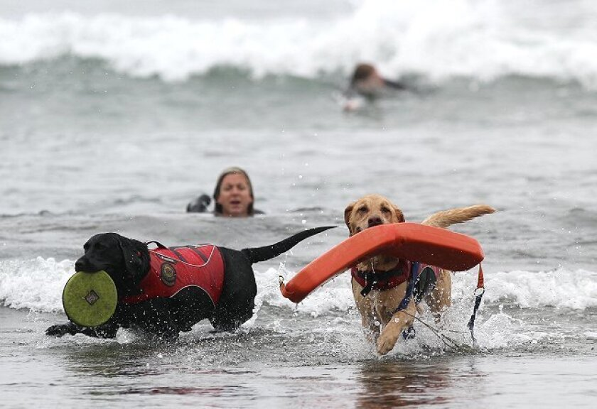 At San Elijo State Beach, service lifeguard dogs are trained by Sandra Dickerman, here working with Labrador retrievers Costa (black) and Rummy (yellow) on lifesaving drills.