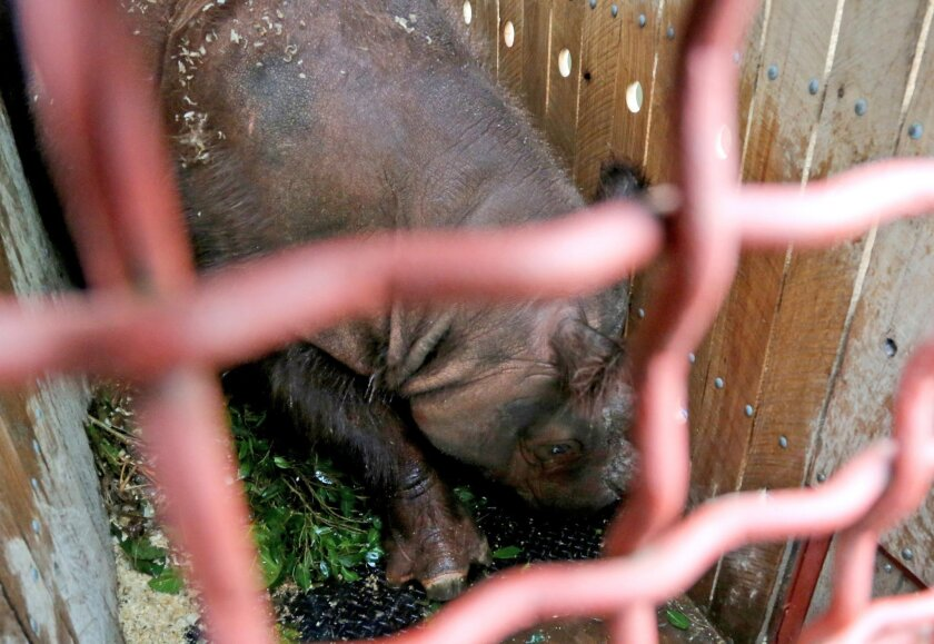 An 8-year-old male  Sumatran rhino named Harapan (hope) sits inside a travel crate as it is prepared to be transported to Way Kambas National Park on Sumatra Island, upon arrival at the cargo terminal at Soekarno-Hatta Airport in Cengkareng, Indonesia, Sunday, Nov. 1, 2015. The U.S.-born Sumatran r