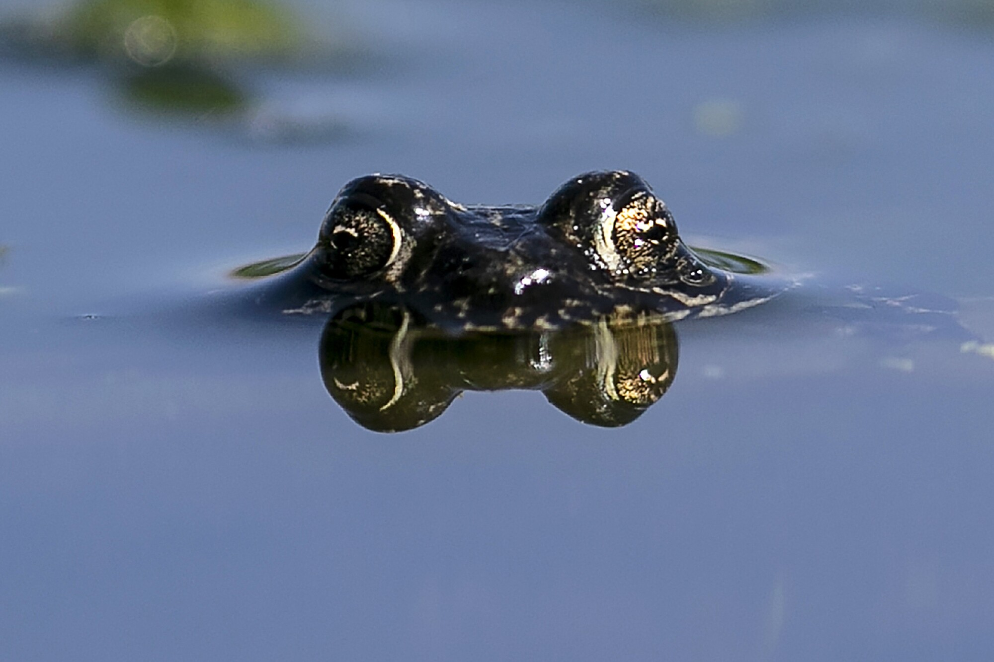 The eyes of a submerged black toad protrude above the waters of Deep Valley Springs