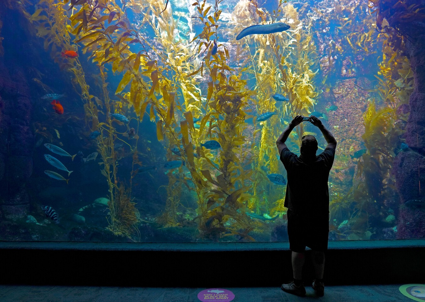 A man uses his cell phone to take a photo of fish in the large kelp forest tank at the Birch Aquarium.
