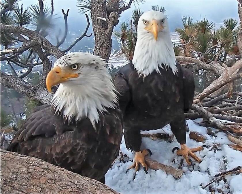A nesting pair of bald eagles in Big Bear Lake.