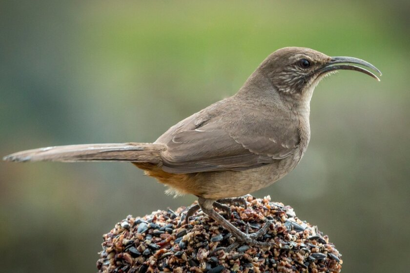The California thrasher is a resident of San Diego's chaparral forests and is often heard more than seen. While it feeds on insects and natural fruits and seeds, it will visit feeders offered by resident living near larger canyons.