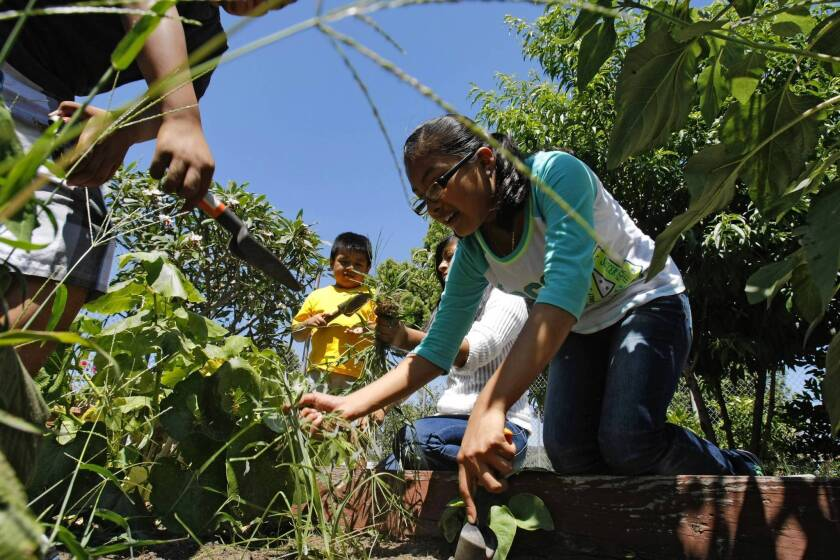 Litzi Reyes, 12, works in the garden at Bell Gardens Intermediate School. Every public school in Bell Gardens has an urban farm run by members of the Environmental Garden Club.