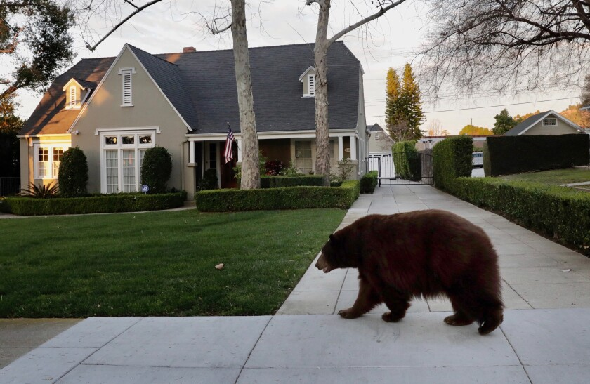 'Old lady' bear tranquilized after walkabout in Monrovia neighborhood
