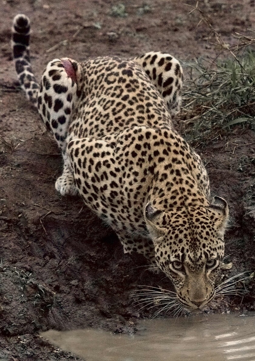 An endangered leopard sips from a water hole