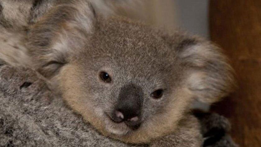 Kirra, una koala de 10 meses, se puede visitar en el zoológico de San Diego.