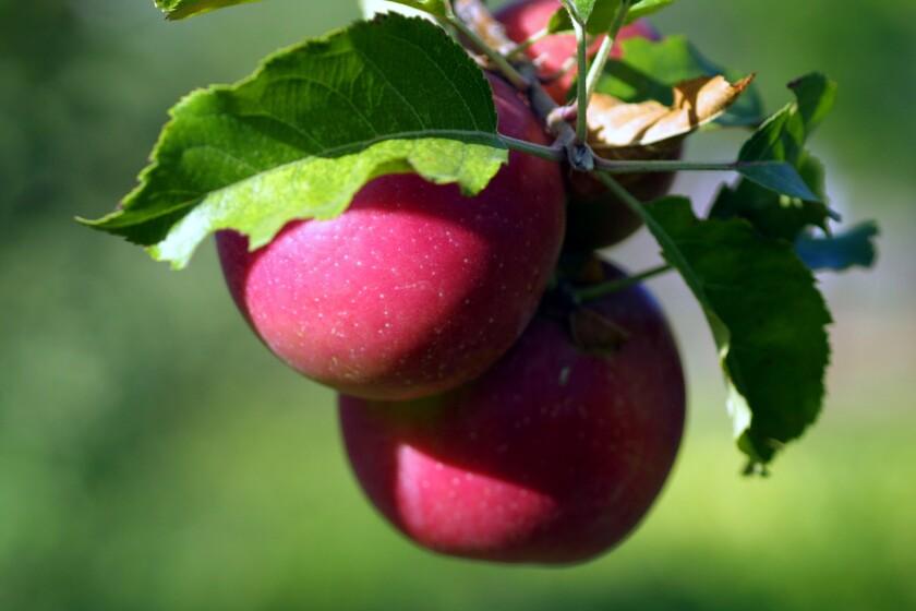 tr–apples