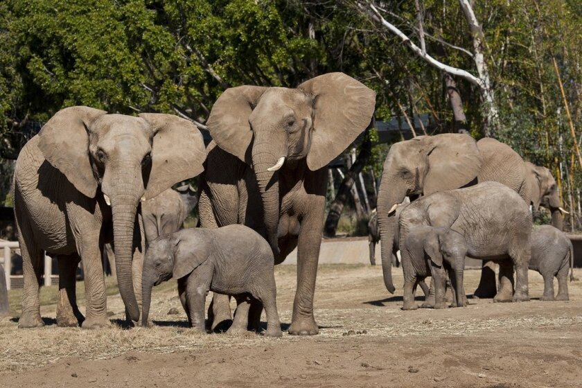 San Diego Zoo Safari Park African elephants stomp in expanded digs.
