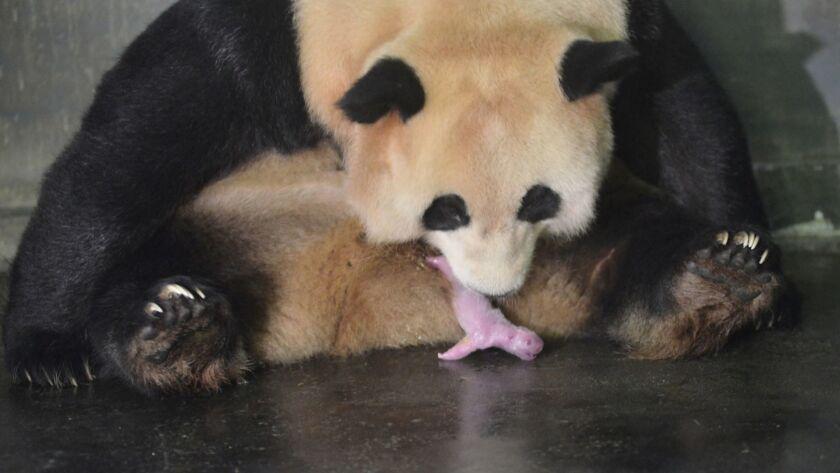 JULY 25: Giant Panda Caocao gives birth to a boy and a girl at Hetaoping Wolong Panda Center of Chi