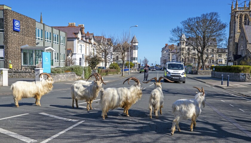 Goats walk the quiet streets in Llandudno, north Wales, that have been deserted due to a coronavirus-induced lockdown.