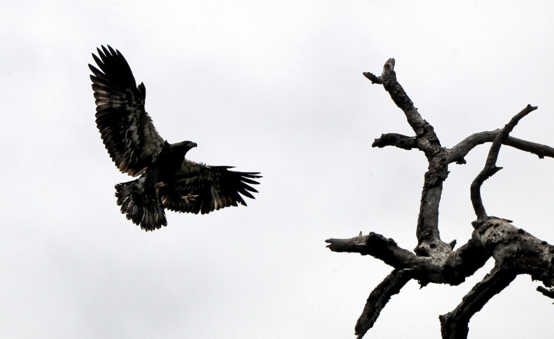 Young bald eagle soars