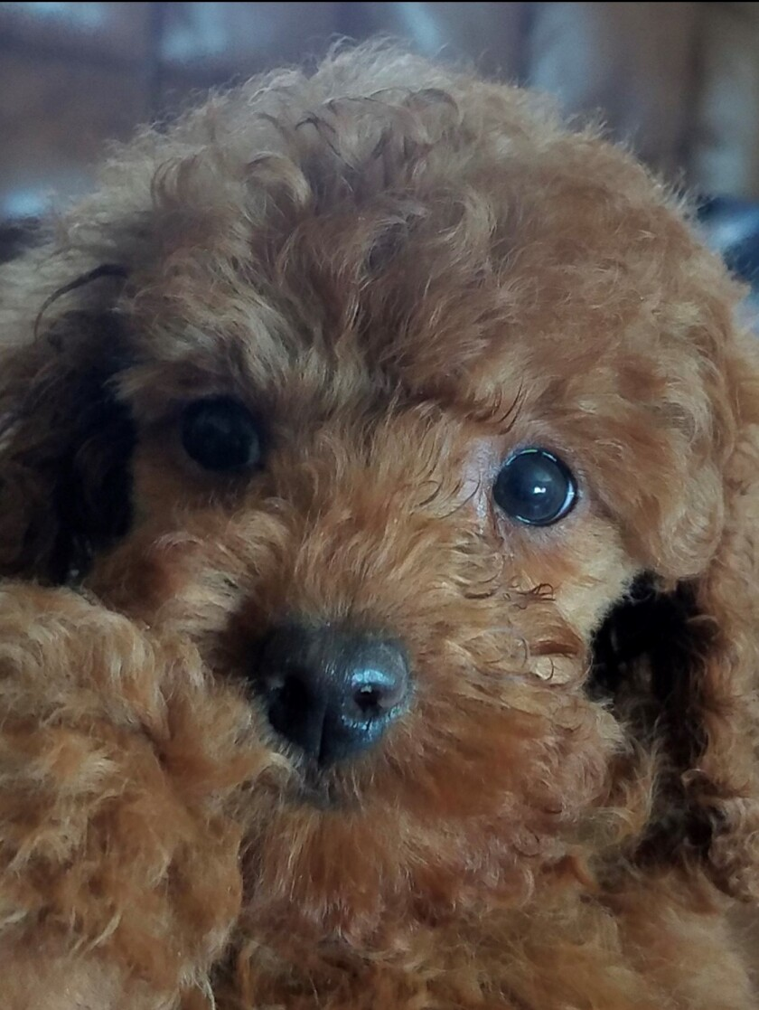 Honey, a small red poodle, was adopted recently in Chicago.