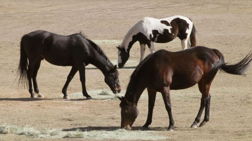 Horses of different colors enjoy a late brunch at a horse far along Lake Wohlford Road in Valley Center