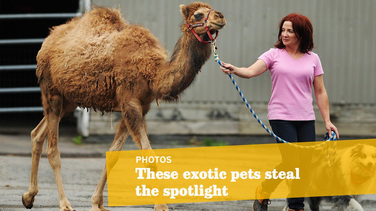 Exotic Pets On Parade Los Angeles Times