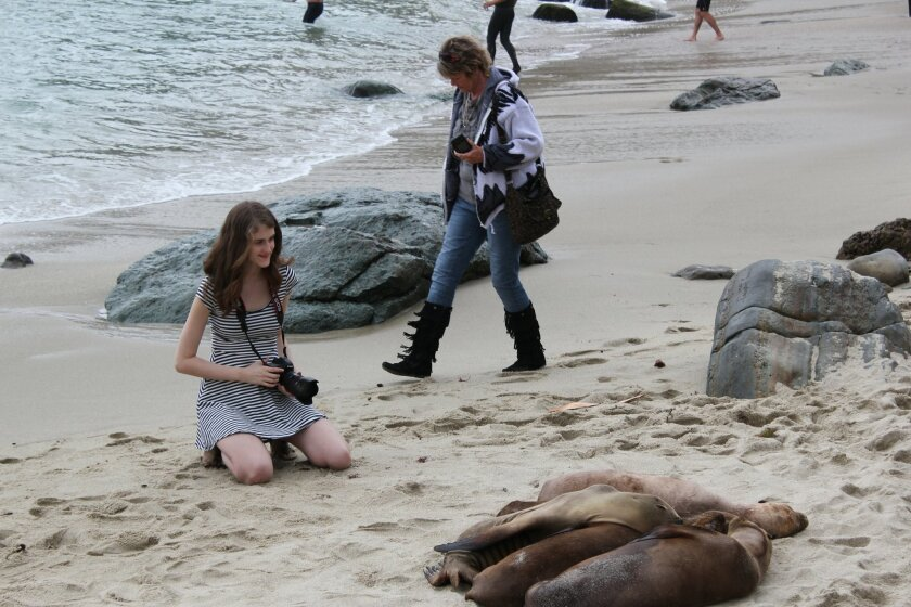 Tourists at La Jolla Cove snap photos of sea lions that have become bolder and more plentiful on the beach popular with swimmers.