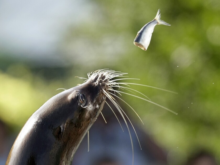 Thirteen sea lions have been killed in Washington. since September