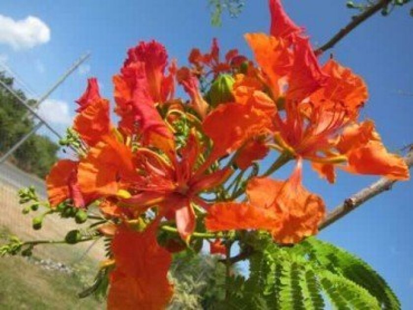 Bright blooms of the flamboyant.