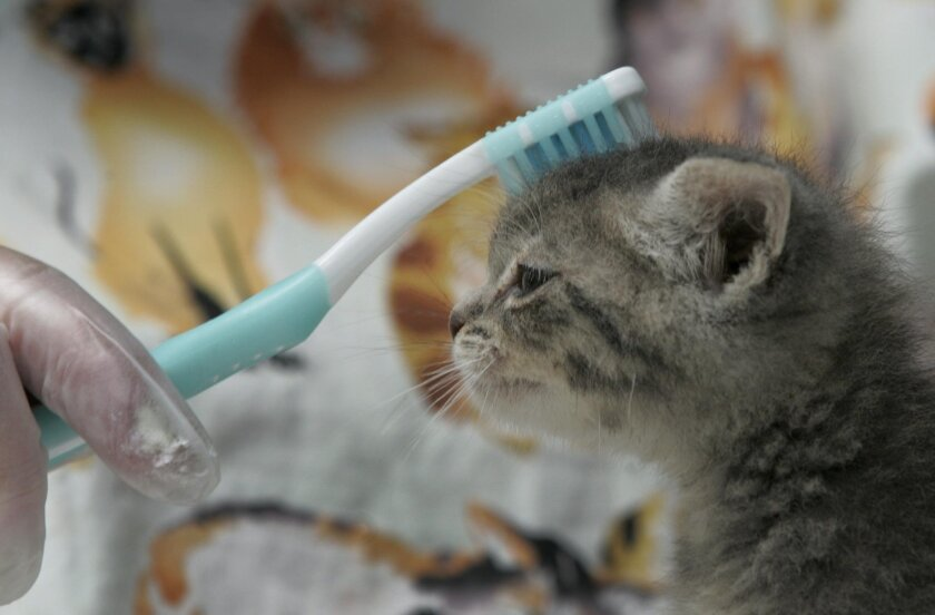 A five-week old orphaned kitten named Anne got brushed with a toothbrush to simulate being licked by it's mother's tongue by at the San Diego Humane Society nursery care giver Debbi Kelso in 2016. Experts say there's no evidence that pets can spread the novel coronavirus to humans.