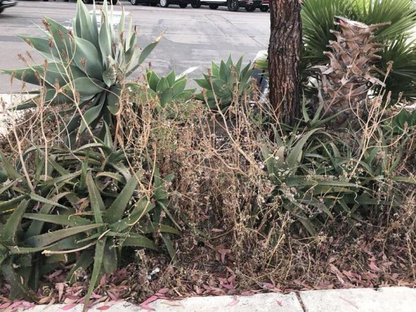 """""""I have walked by these same weedy beds between US Bank's parking lot and the curb for well over a year now in the Village of La Jolla,"""" Louise Marino said."""