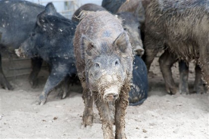 This undated photo provided by the U.S. Department of Agriculture Wildlife Services shows a group of trapped feral pigs. The agency has teamed up with the state of New Mexico and others as part of a $1 million pilot project to eradicate the pigs from the state. Nationally, federal officials say the